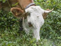 Корова ест траву пася в выгонах иллюстрация штока