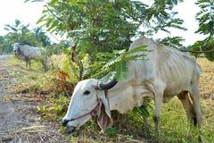 Корова ест траву Стоковые Фото