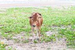 Корова детенышей Стоковое фото RF