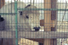 Корова живет в клетке на зоопарке стоковые фотографии rf