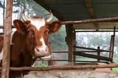 Корова жует на еде пока вставляющ голову из выгона Стоковая Фотография