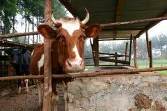Корова жует на еде пока вставляющ голову из выгона Стоковая Фотография RF