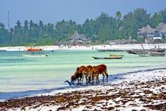 Корова Занзибара пляжа морской водоросли Стоковые Фотографии RF