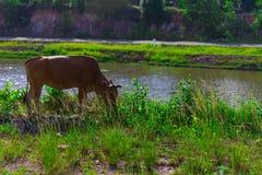 Корова земледелия Стоковые Фотографии RF