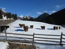 Корова зимы Стоковая Фотография