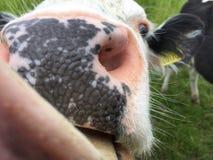 Корова лижа камеру стоковое изображение rf