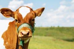 Корова икры молодая отечественная Стоковое Изображение