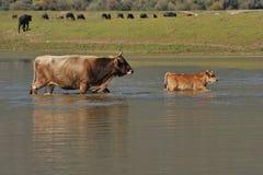 корова икры Стоковая Фотография RF