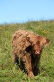 корова икры lofoten scottish Стоковая Фотография RF