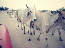Корова и вол в сельском Стоковое Изображение