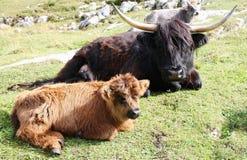 Корова и детеныши гористой местности в альте Адидже Италии лугов горы Стоковое Изображение RF