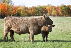 Корова и икра говядины Стоковые Изображения RF