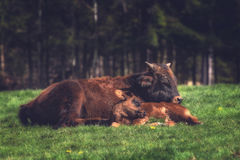Корова и икра матери Стоковое Изображение RF