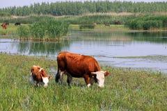 Корова и икра на выгоне Стоковое Изображение RF