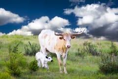 Корова и икра лонгхорна Стоковые Фотографии RF