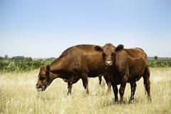 Корова и икра Стоковое Изображение RF