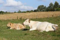 Корова и икра Стоковые Изображения RF