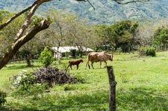 Корова и икра Momma стоковые изображения rf