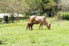 Корова и икра Momma стоковое фото