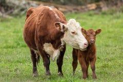 Корова и икра Momma стоковая фотография rf