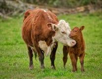Корова и икра Momma стоковая фотография