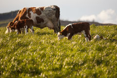 Корова и икры в выгоне Стоковое Изображение RF
