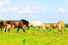Корова и лошади Стоковые Изображения RF