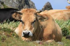 Корова и муха Стоковое Изображение