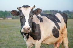 Корова и поле травы стоковая фотография rf