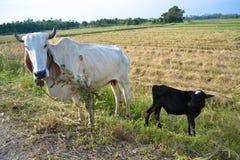 Корова и ребенок Стоковая Фотография RF