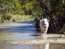 Корова идя в природу Стоковая Фотография