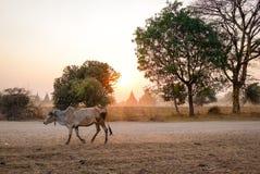 Корова идя на дорогу на заходе солнца в Bagan, Мьянме Стоковые Изображения RF