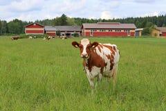 Корова и Farmstead Стоковое Фото