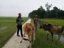 корова и oldman Стоковая Фотография RF