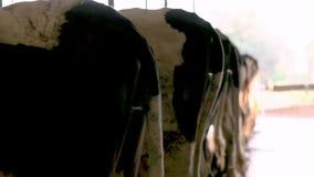 Корова кабеля в конюшне на ферме акции видеоматериалы