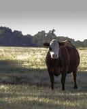 Корова красного цвета и белизны - вертикаль Стоковое фото RF