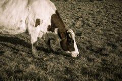 Корова крупного плана пася Стоковое фото RF