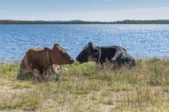 Корова кудели на пляже в Норвегии Стоковые Изображения RF