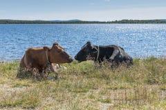 Корова кудели на пляже в Норвегии Стоковое Изображение RF
