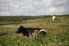 корова лежа на цветя луге Стоковые Фотографии RF
