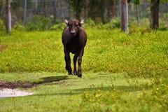 Корова летая стоковые изображения