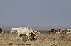 Корова лонгхорна вне загородки пася с остальноями табуна за загородкой колючей проволоки на горизонте на бурный день Стоковое Фото