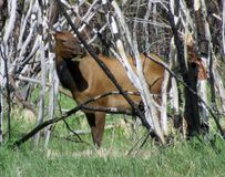 Корова лося в чаще стоковые изображения rf