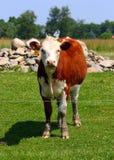 корова любознательная Стоковая Фотография