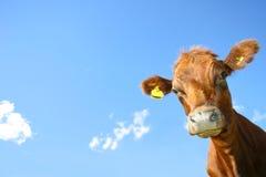 корова любознательная стоковая фотография rf