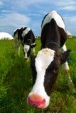 корова любознательная Стоковое Фото