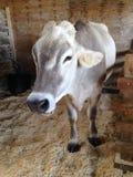Корова матери Стоковые Изображения RF