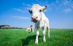 корова младенца милая Стоковая Фотография RF