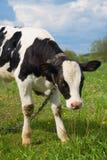 корова младенца милая Стоковые Изображения RF