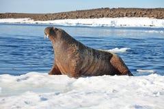Корова моржа на ледяном поле Стоковое фото RF